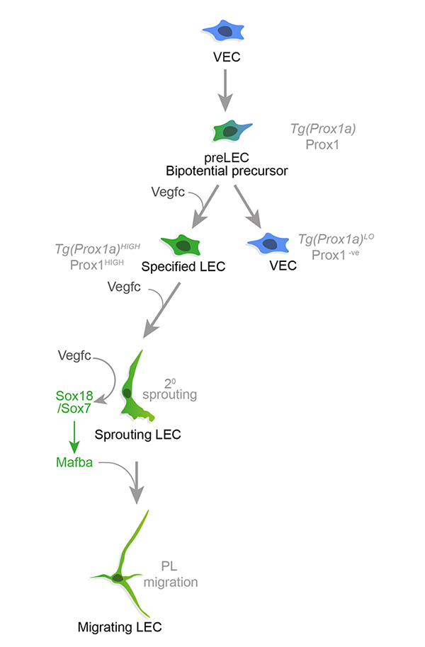 Cartoon showing the involvment of Vegfc signalling and Prox1 in lymphatic development